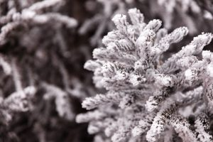 یخ زدگی گیاهان
