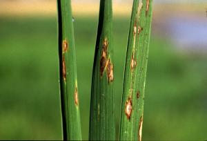 بیماری های گیاه برنج
