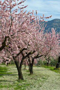 شکوفه دهی درخت بادام