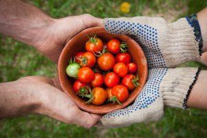 کشت گوجه فرنگی