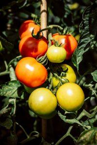 کاشت گوجه فرنگی