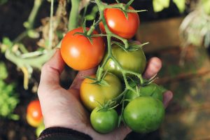 رسیدن گوجه فرنگی