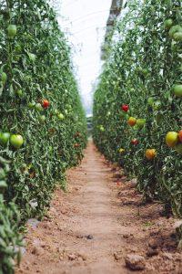 مزرعه گوجه فرنگی