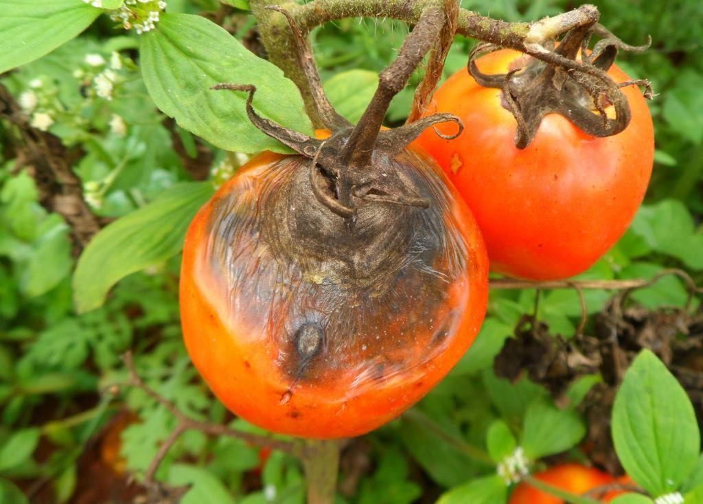 بیماری لکه موجی گوجه فرنگی
