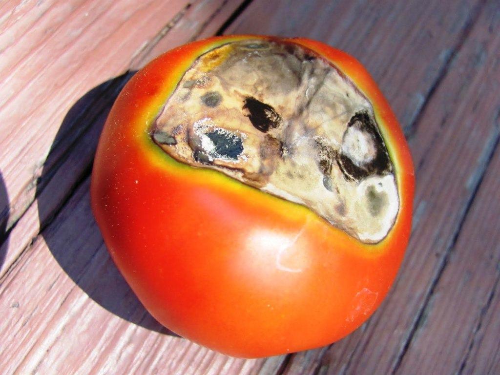 لکه سیاه گوجه فرنگی یا آنتراكنوز