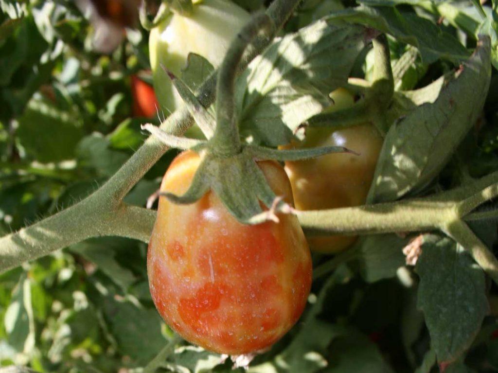 بیماری ویروسی پژمردگی لکه ای گوجه فرنگی