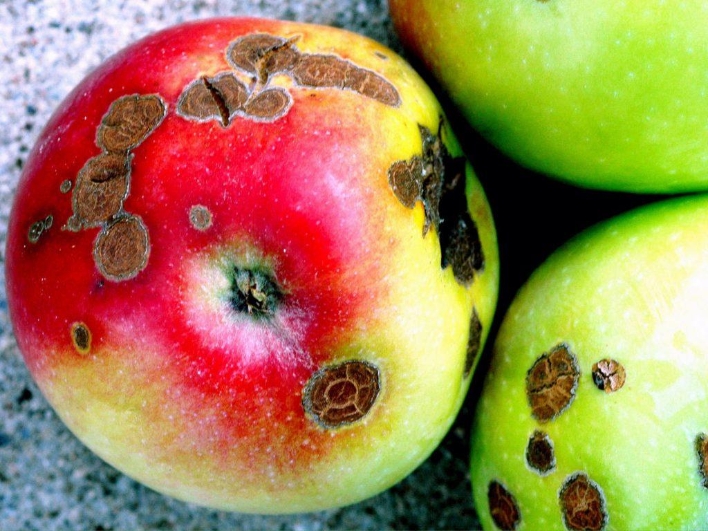 کنترل بیماری لکه سیاه سیب
