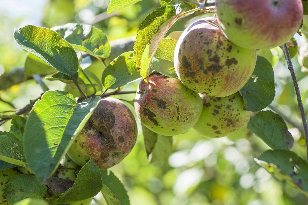 لکه سیاه سیب