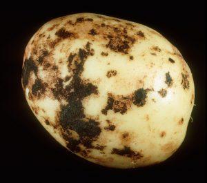 بیماری پوسیدگی ریشه سیب زمینی