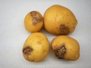 بیماری پوسیدگی خشک فوزاریومی سیب زمینی