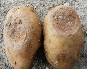 بیماری پوسیدگی نرم باکتریایی و ساق سیاه سیب زمینی