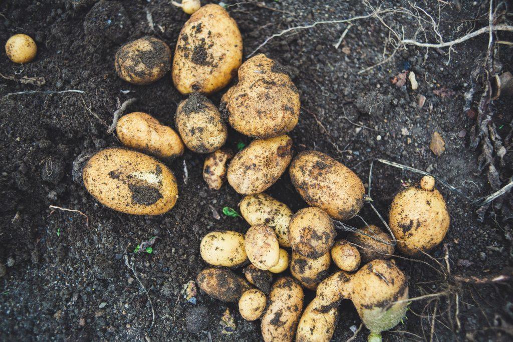 کنترل آفات و بیماری های مهم سیب زمینی