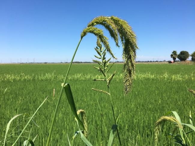 مبارزه با علف هرز برنج
