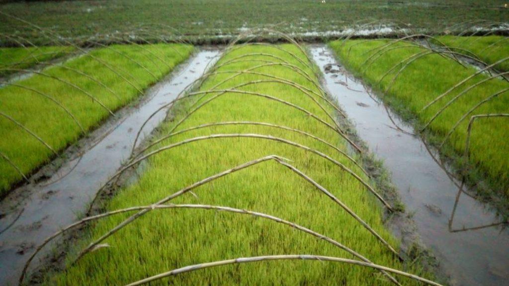 آفات و بیماری های خزانه برنج