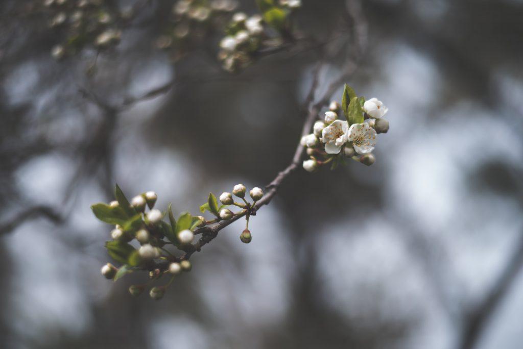 ریزش شکوفه های درختان