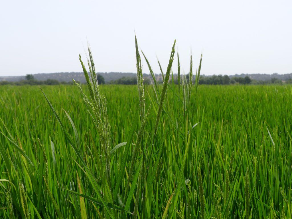 علف هرز برنج
