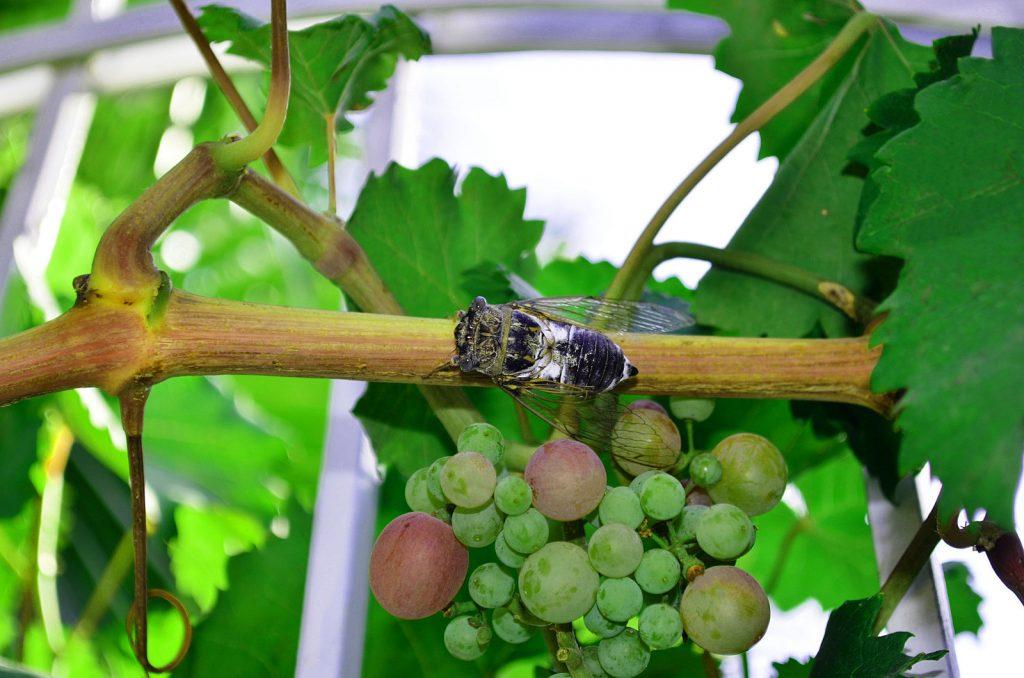آفت زنجرک انگور