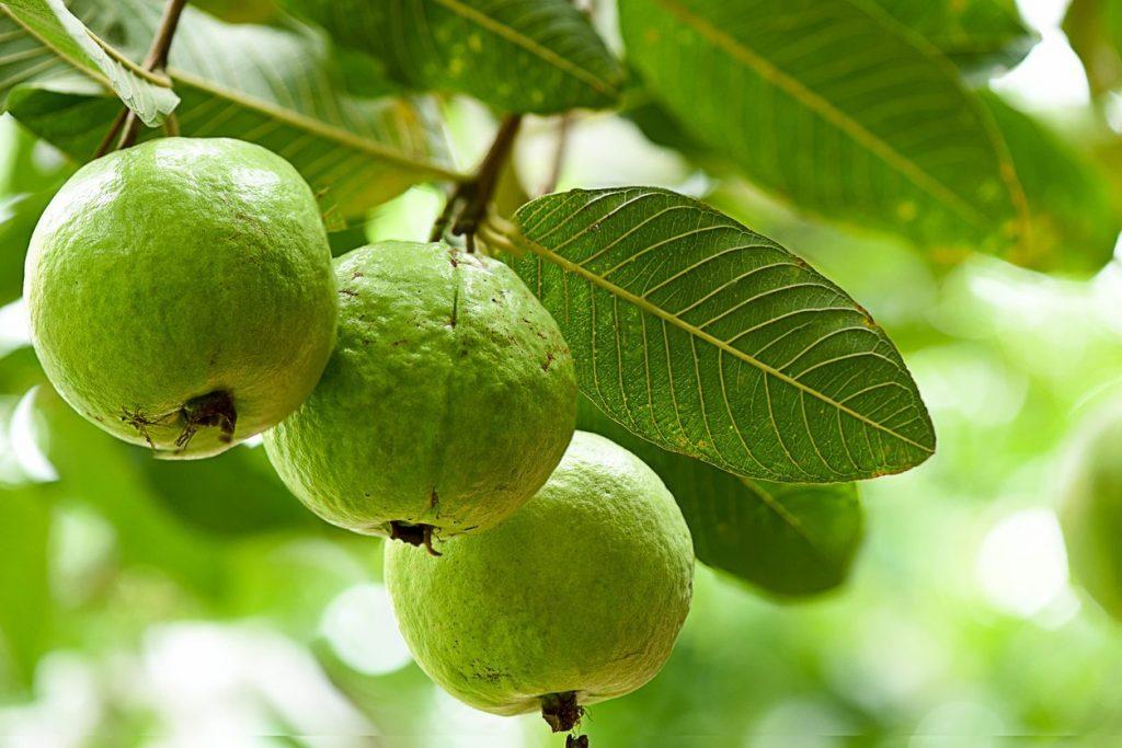 درخت گواوا چه درختی است؟