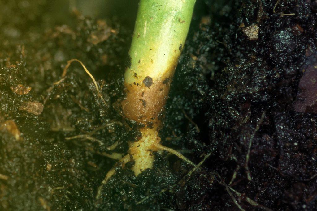 مرگ گیاهچه