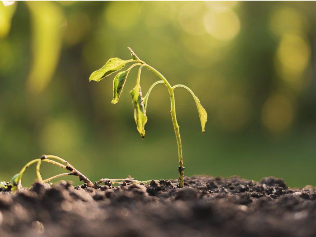 بوته میری در گیاهان