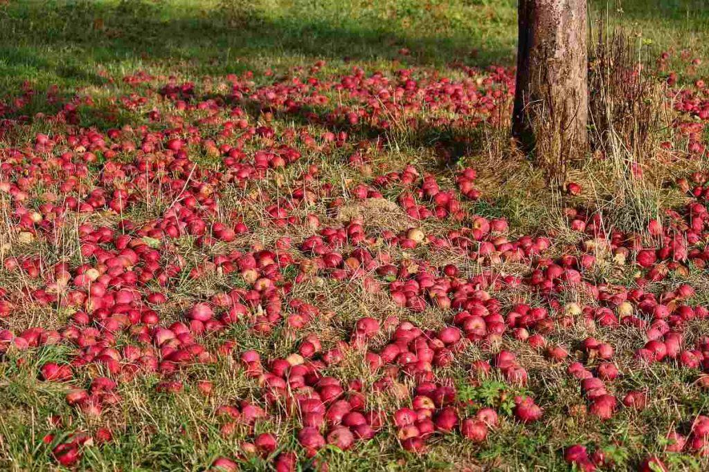 چرا سیب از روی درخت می افتد؟