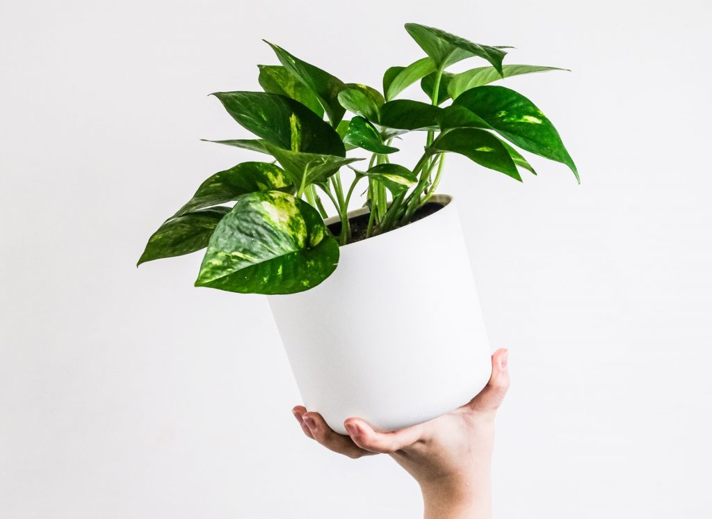 گیاه پتوس