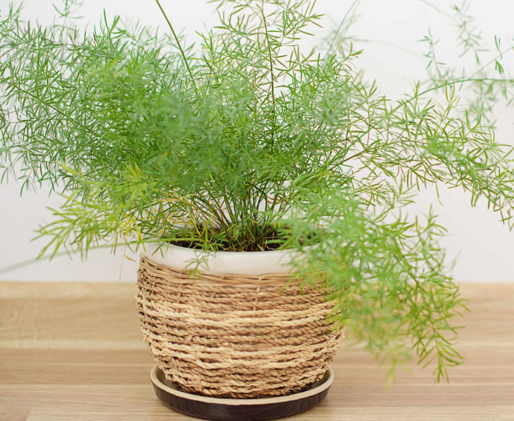 گیاه سرخس مارچوبه ای
