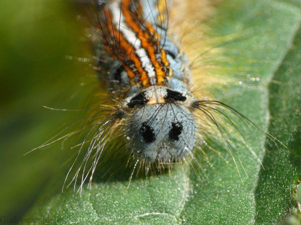 شناخت آفت پروانه برگ خوار