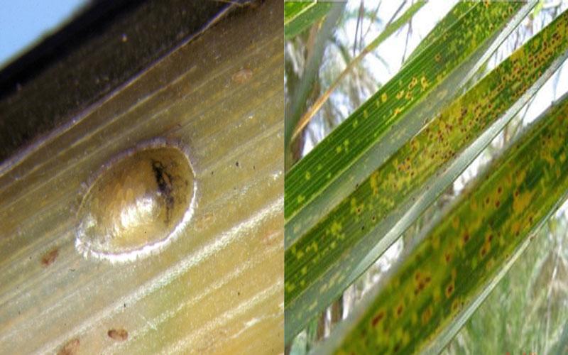 شپشک سبز یا شپشک شفاف خرما