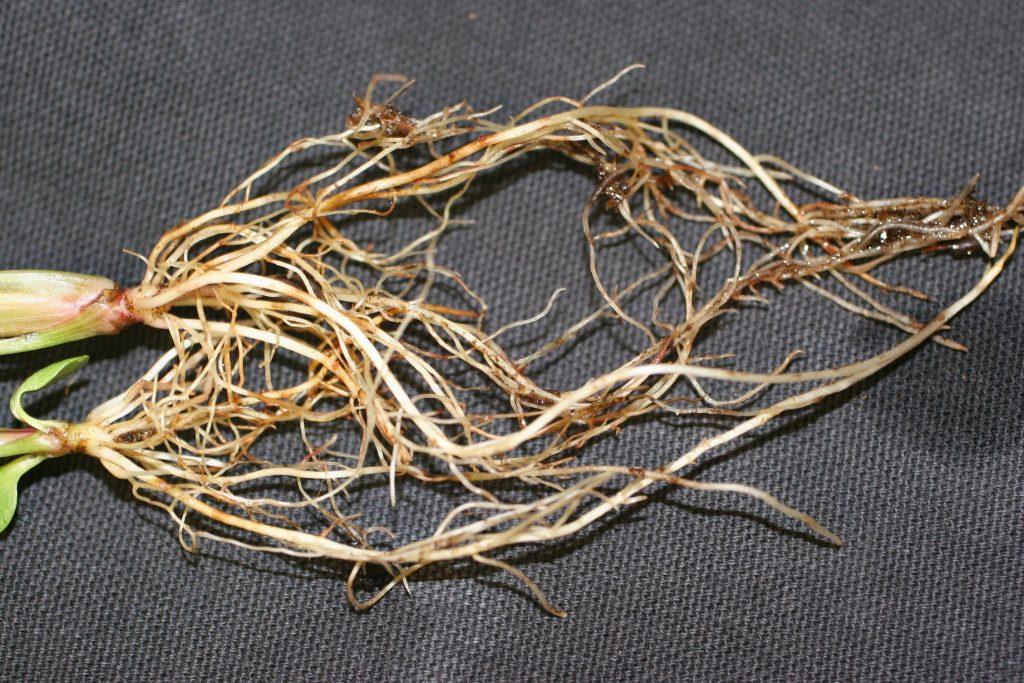 بیماری ریزوکتونیا در گیاهان