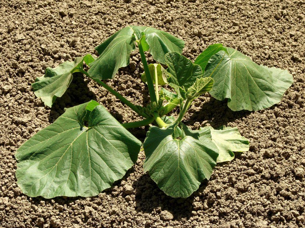 علائم تنش گرمایی در گیاهان