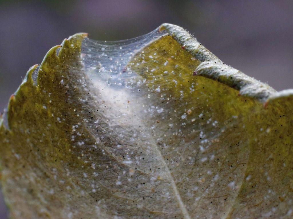 راه های کنترل آفت کنه تار عنکبوتی