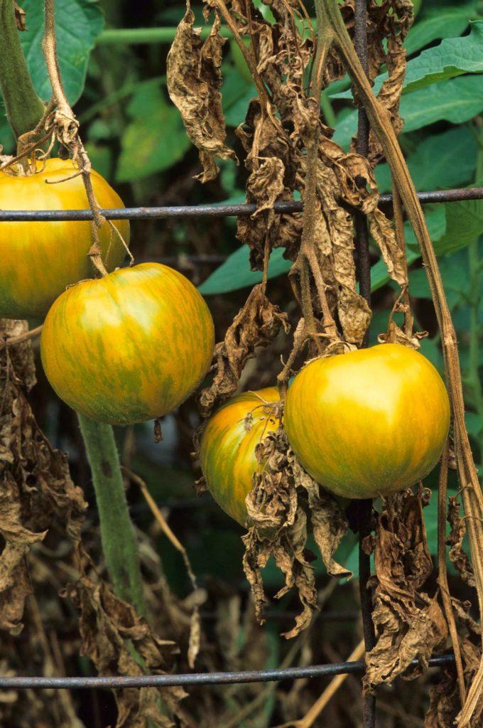 پژمردگی فوزاریوم در گوجه فرنگی