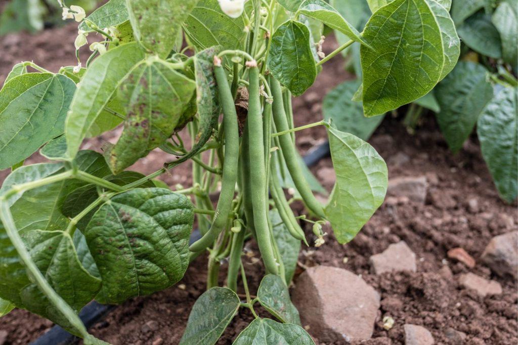 بیماری های گیاه لوبیا کدامند؟