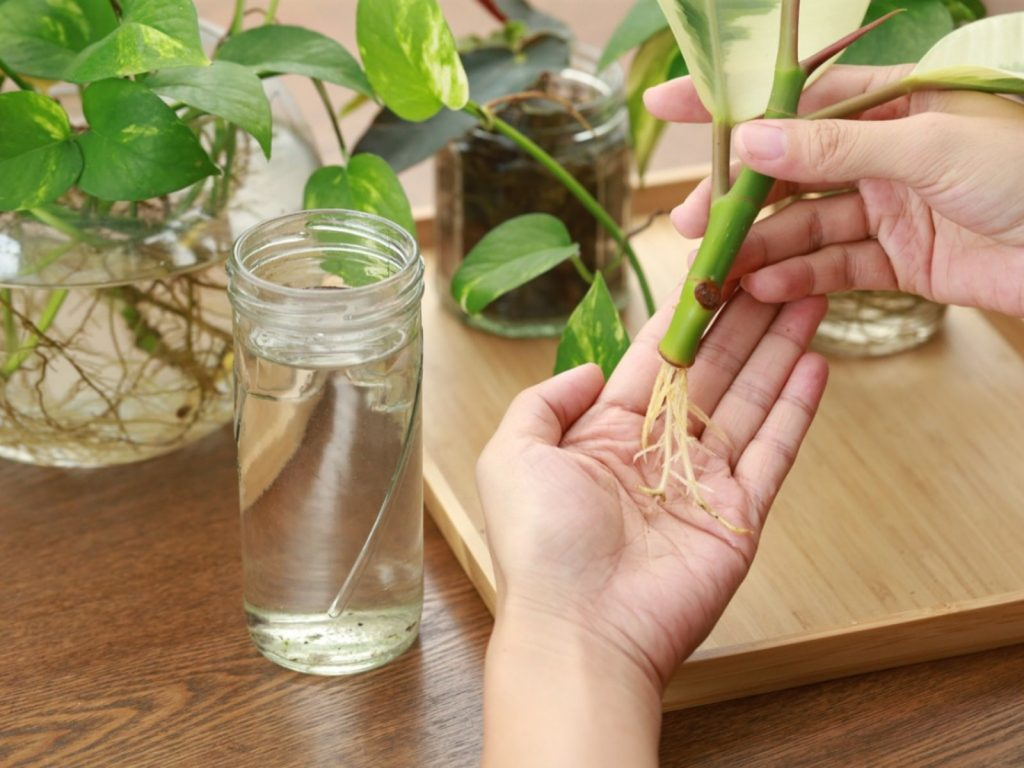 پیوند گیاهان آپارتمانی